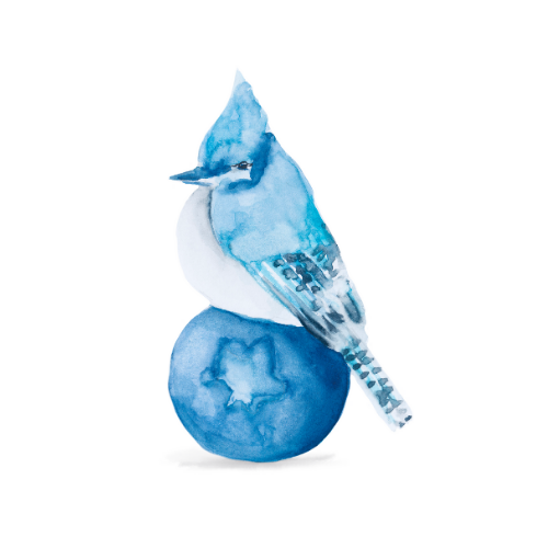 Watercolor bird illustration of a blue jay on a blueberry